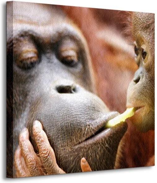 Vászonkép Orangutánok Bain Kitch 40x40cm CKS0362