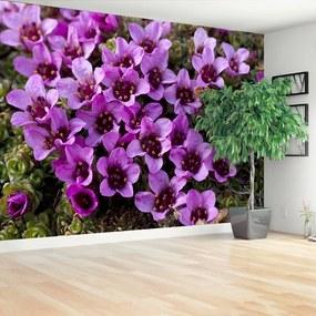 Fotótapéta lila kőtörőfű 104x70