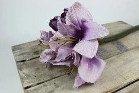 Lila amaryllis (hölgyliliom)